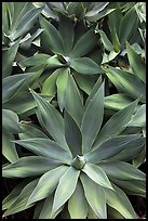 Agave plants. Maui, Hawaii, USA ( color)