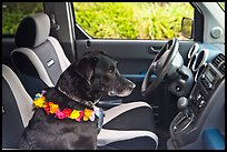 Dog with lei sitting in car. Maui, Hawaii, USA ( color)