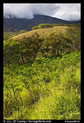 Shrubs and trees on hillside near Kaupo. Maui, Hawaii, USA (color)
