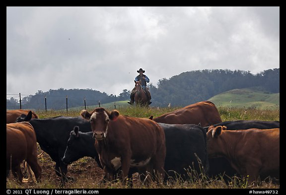 Paniolo cowboy overlooking cattle. Maui, Hawaii, USA (color)