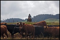 Paniolo cowboy overlooking cattle. Maui, Hawaii, USA ( color)
