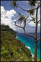 Tree and green coastline, Na Pali coast. Kauai island, Hawaii, USA ( color)