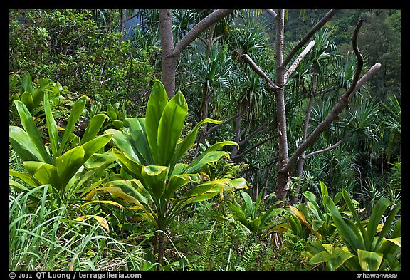 Tropical vegetation along Kalalau trail. Kauai island, Hawaii, USA (color)