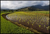 Taro farming, Hanalei Valley, morning. Kauai island, Hawaii, USA (color)
