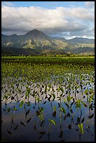 Mountains reflected in paddy fields with taro, Hanalei Valley. Kauai island, Hawaii, USA (color)