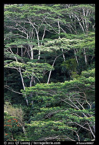 Grove of White Siris trees. Kauai island, Hawaii, USA (color)