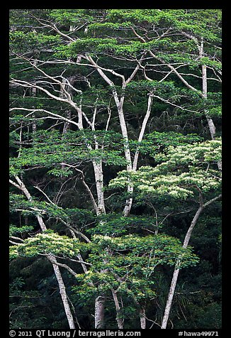 White Siris trees growing on hill. Kauai island, Hawaii, USA (color)
