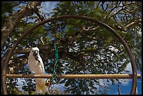 White parrot, Kilauea. Kauai island, Hawaii, USA ( color)