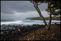 Coastline with rocks, Koa tree, and surf, Pohoiki. Big Island, Hawaii, USA ( color)