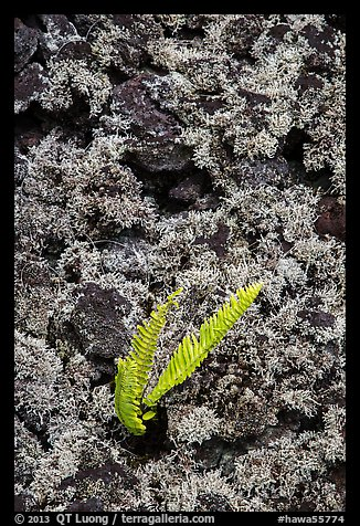 Fern, moss, and hardened lava. Big Island, Hawaii, USA (color)