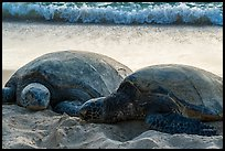 Sea Turtles and surf, Laniakea Beach. Oahu island, Hawaii, USA ( color)