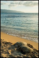 Two sea turtles, Laniakea (Turtle) Beach. Oahu island, Hawaii, USA ( color)