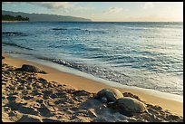 Sea turtles on Laniakea Beach, North Shore. Oahu island, Hawaii, USA ( color)