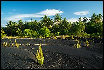 Young ferns sprouting out of lava field, Kalapana. Big Island, Hawaii, USA ( color)