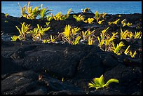 Palm tree sapplings, Kaimu Beach. Big Island, Hawaii, USA ( color)