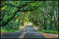 Tree Tunnel, Puna. Big Island, Hawaii, USA ( color)
