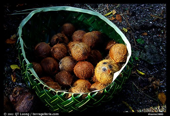 Coconuts contained in a basket made out of a single palm leaf. Tutuila, American Samoa (color)