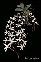 Aerangis stylosa. A species orchid (color)