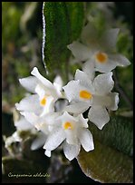 Campanemia adelaiae. A species orchid ( color)