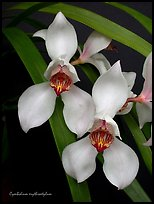 Cymbidium erythrostylum. A species orchid (color)