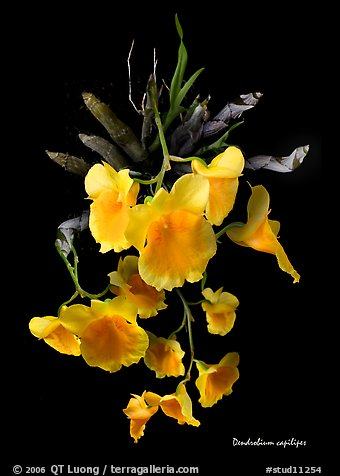 Dendrobium capilipes. A species orchid (color)