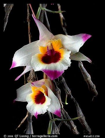 Dendrobium falconeri2. A species orchid