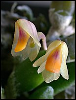 Dendrobium lichenastrum. A species orchid (color)