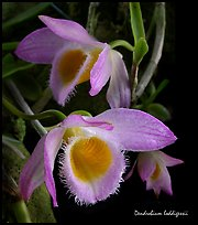 Dendrobium loddigessii. A species orchid ( color)