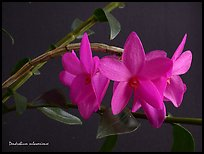 Dendrobium sulawesiense. A species orchid (color)