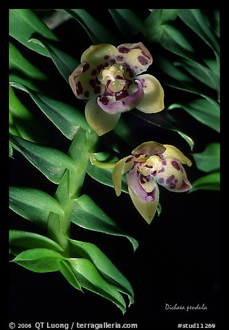 Dichaea pendula. A species orchid (color)