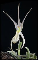 Homalopetallum pumilio. A species orchid (color)