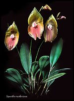 Lepanthes escobariana. A species orchid (color)