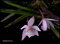 Leptotes tenuis. A species orchid ( color)