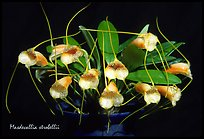 Masdevallia strobelii. A species orchid (color)