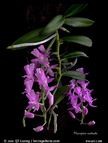 Micropera rostrata. A species orchid (color)