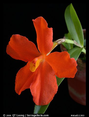 Neocogniaxia hexaptera. A species orchid (color)