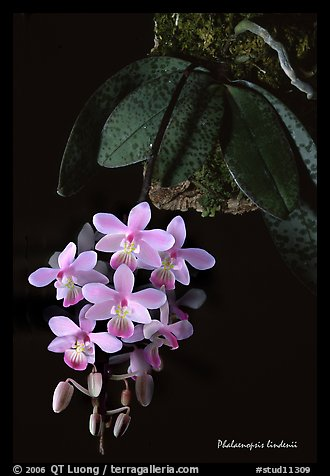 Phalaenopsis lindenii. A species orchid (color)