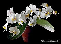 Phalaenopsis philippinensis. A species orchid
