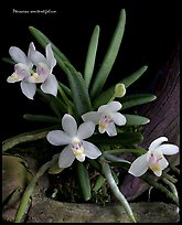 Pteroceras semiteretifolium. A species orchid (color)