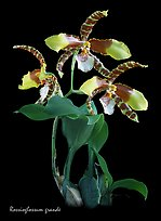 Rossioglossum grande. A species orchid ( color)