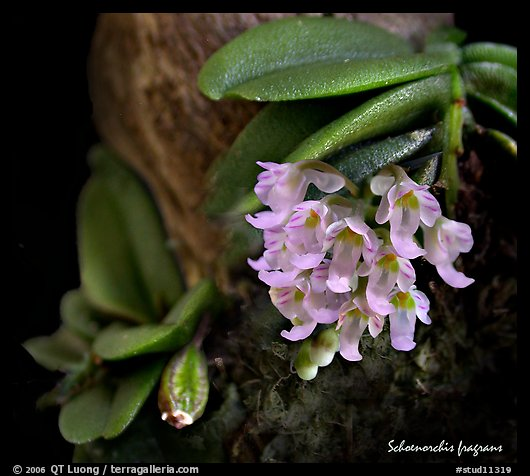 Schoenorchis fragrans. A species orchid (color)