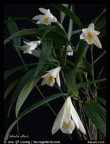 Sobralia allenii. A species orchid (color)
