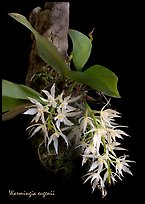 Warmingia eugeneii. A species orchid (color)