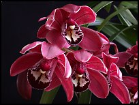 Cymbidium Cherry Cola. A hybrid orchid ( color)