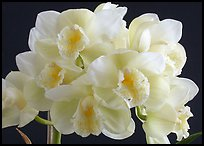 Cymbidium Culpaulin 'Ice Green'. A hybrid orchid ( color)