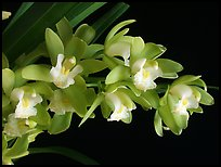 Cymbidium Green Sour 'Fresh'. A hybrid orchid ( color)