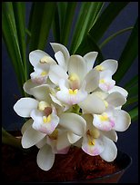 Cymbidium Janis Lin 'Emily Kate'. A hybrid orchid ( color)
