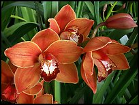 Pictures of Cymbidium