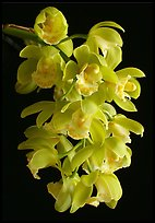 Cymbidium Mini Mary 'Grenadier'. A hybrid orchid ( color)