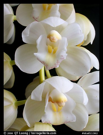 Cymbidium Mini Sarah 'Pearl Fall' Flowers. A hybrid orchid (color)